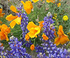 POPPY & LUPINE FIELDS: Gorman, CA : POPPY & LUPINE FIELDS OF GORMAN, CALIFORNIA